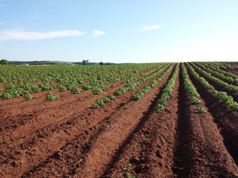 Fachowe podejście do zwalczania chwastów w ziemniakach